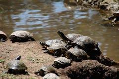 tortues Photo libre de droits