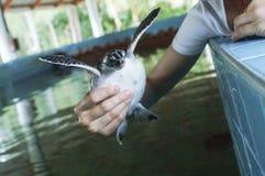 Tortues d'eau d'alimentation, piscine d'élevage pour maintenir des populations de traitement Photos libres de droits