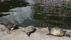 Tortues dans un étang Photographie stock