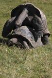 Tortues de accouplement de Galapagos photos libres de droits