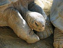Tortues de Galapagos Images libres de droits