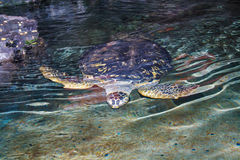 Tortues de mer Images stock