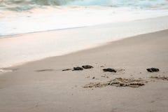 Tortues de mer de bébé rampant vers l'Océan Atlantique photos stock