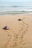 Tortues de mer d'imbécile (caretta de Caretta) Image stock