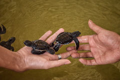 Tortues de mer sélectionnées Photo libre de droits