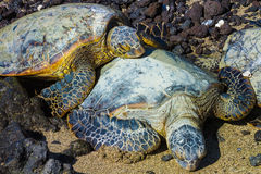 Tortues en gros plan Photographie stock