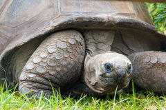 Tortues géantes Photographie stock