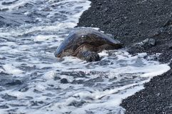 Tortues humides par la mer sur une plage noire de sable en Hawaï Image stock