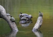 tortues Rouge-à oreilles de glisseur d'étang sur un rondin appréciant le soleil en rivière en parc de Watercrest, Dallas, le Texa photo libre de droits