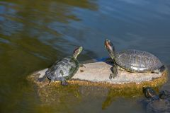 Tortues rouges de rayure Images libres de droits