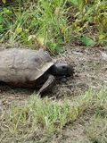 Tortues sauvages image stock
