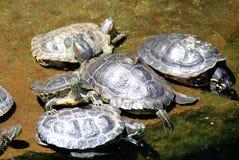 Tortues se reposant le long d'un étang en Californie, Etats-Unis Image stock