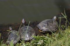 Tortues se reposant par le lac trois Plan rapproch? photo libre de droits