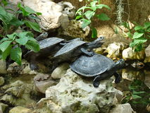 4 tortues sur l'un l'autre Image libre de droits