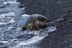 Tortues sur une plage noire de sable en Hawaï humide par la mer Images stock