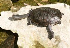 Tortuga Imagen de archivo