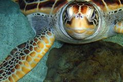 Tortuga Fotos de archivo