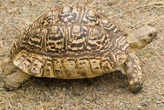 Tortuga Imagenes de archivo