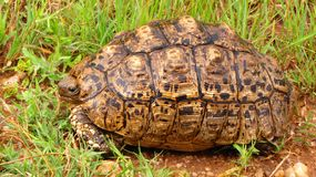 Tortuga Arkivbild