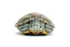 Tortuga Imágenes de archivo libres de regalías