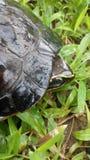 Tortuga Fotografía de archivo