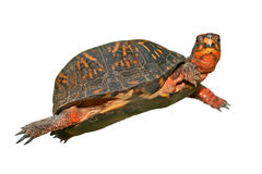 Tortuga_6211. Beautiful specimen of box turtle white background stock photography