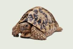 Tortuga Foto de archivo libre de regalías