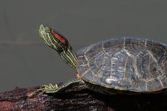 Tortuga acuática del resbalador del Rojo-Oído Foto de archivo libre de regalías