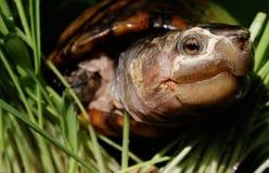 Tortuga acuática en riverbank foto de archivo libre de regalías