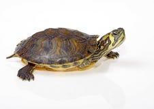 Tortuga acuática la Florida Imagenes de archivo