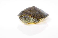 Tortuga acuática la Florida Fotos de archivo