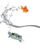 Tortuga adentro, goldfish hacia fuera Imágenes de archivo libres de regalías