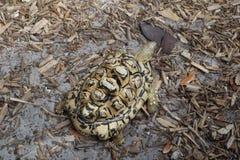 Tortuga africana del leopardo George C Parque de naturaleza de McGough fotografía de archivo libre de regalías