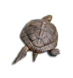Tortuga aislada Imagen de archivo libre de regalías