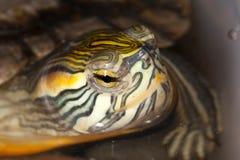 tortuga Amarillo-hinchada del resbalador en el watter Foto de archivo libre de regalías