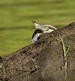 tortuga Amarillo-manchada del río Fotografía de archivo