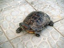 Tortuga anfibia grande Fotos de archivo