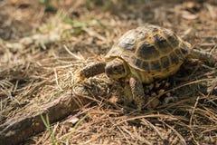 Tortuga asiática central también como la tortuga marrón asiática camina a través del bosque imagen de archivo libre de regalías
