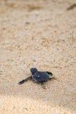 Tortuga azul que dirige al océano Fotos de archivo libres de regalías