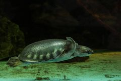 tortuga Cerdo-sospechada Fotos de archivo