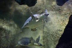 tortuga Cerdo-sospechada (insculpta de Carettochelys) Fotografía de archivo libre de regalías