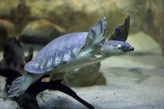 tortuga Cerdo-sospechada y x28; Insculpta& x29 de Carettochelys; Fotos de archivo libres de regalías