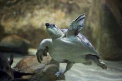 tortuga Cerdo-sospechada y x28; Insculpta& x29 de Carettochelys; Imagen de archivo