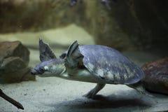 tortuga Cerdo-sospechada y x28; Insculpta& x29 de Carettochelys; Fotografía de archivo