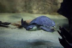 tortuga Cerdo-sospechada y x28; Insculpta& x29 de Carettochelys; Imagenes de archivo