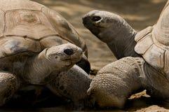 Tortuga de Aldabra Imágenes de archivo libres de regalías