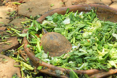 Tortuga de arrastre en la naturaleza Imagen de archivo libre de regalías