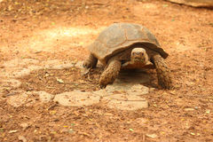Tortuga de arrastre en la naturaleza en el parque zoológico Foto de archivo