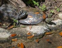 Tortuga de caparazón blando espinosa y tortuga pintada fotos de archivo libres de regalías