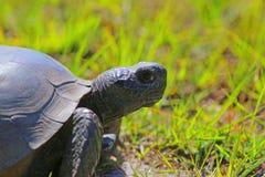 Tortuga de Gopher de la Florida Imagenes de archivo